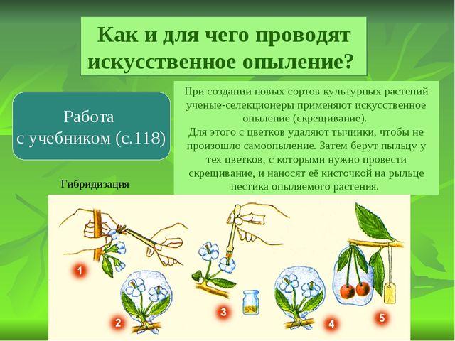 Как и для чего проводят искусственное опыление? Работа с учебником (с.118) Пр...