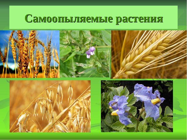 Самоопыляемые растения