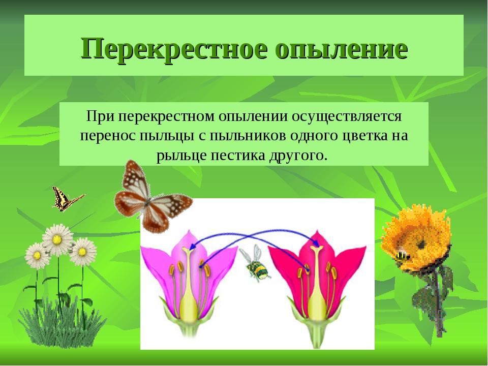 Перекрестное опыление При перекрестном опылении осуществляется перенос пыльцы...