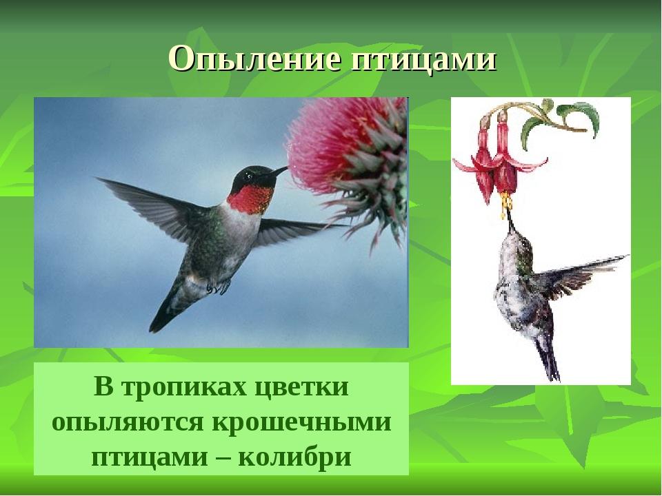 Опыление птицами В тропиках цветки опыляются крошечными птицами – колибри