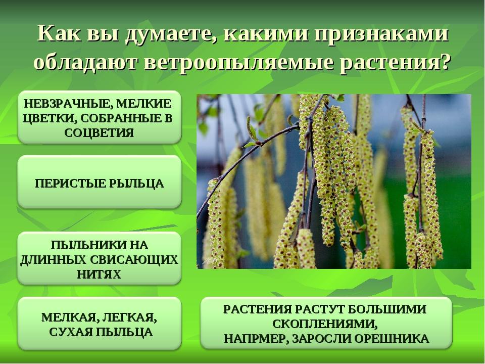 Как вы думаете, какими признаками обладают ветроопыляемые растения?