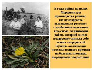 В годы войны на полях Мордовии для производства резины, для нужд фронта, выр