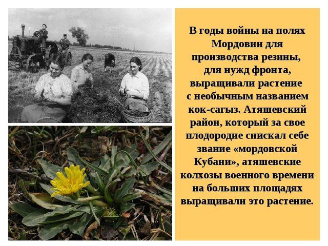 В годы войны на полях Мордовии для производства резины, для нужд фронта, выр...
