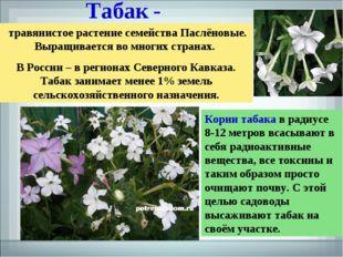 Табак - травянистое растение семейства Паслёновые. Выращивается во многих стр