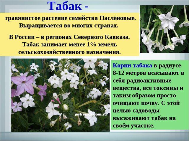 Табак - травянистое растение семейства Паслёновые. Выращивается во многих стр...