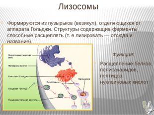 Лизосомы Функция: Расщепление белков, полисахаридов, пептидов, нуклеиновых