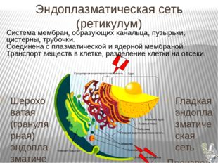 Эндоплазматическая сеть (ретикулум) Гладкая эндоплазматическая сеть Произво