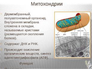 Митохондрии Двумембранный, полуавтономный органоид. Внутренняя мембрана слож