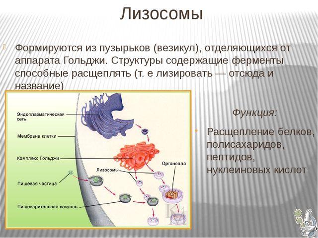 Лизосомы Функция: Расщепление белков, полисахаридов, пептидов, нуклеиновых...