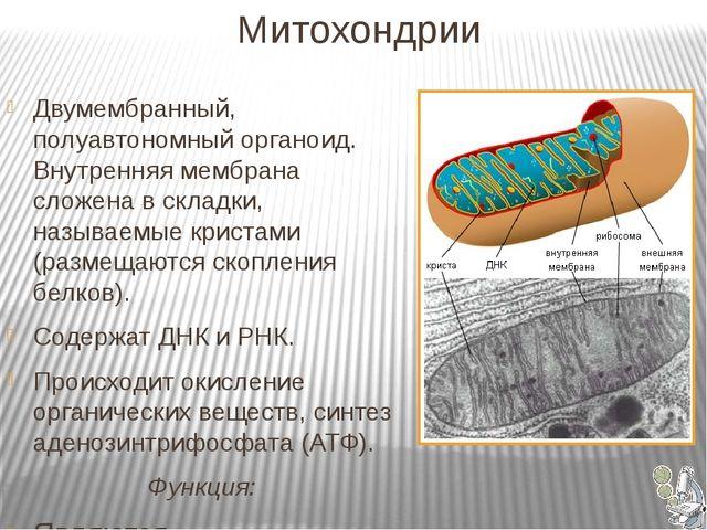 Митохондрии Двумембранный, полуавтономный органоид. Внутренняя мембрана слож...