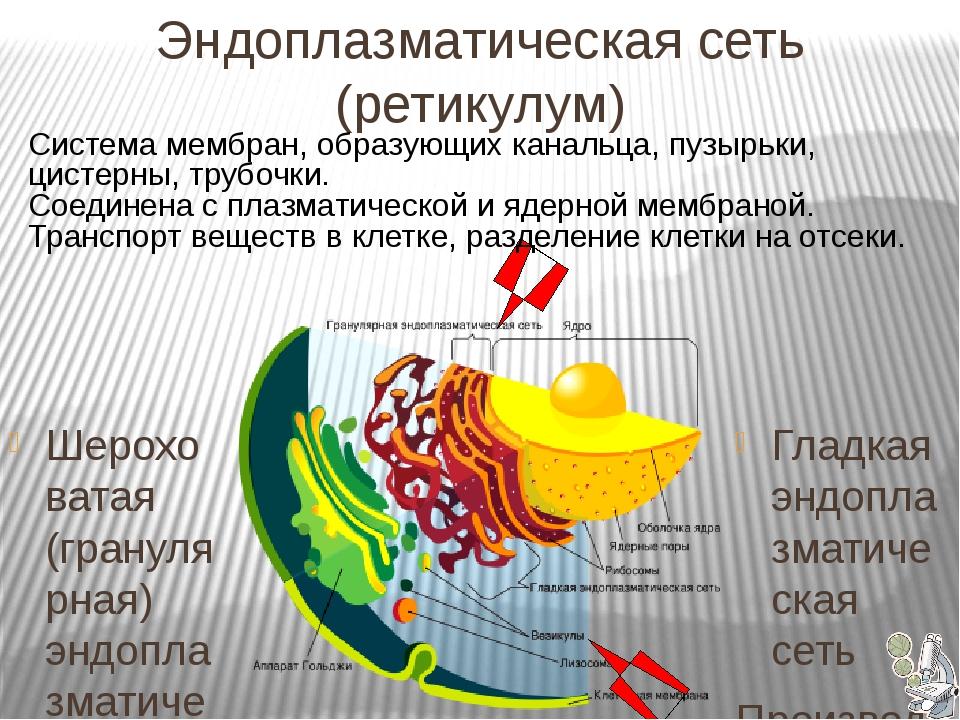 Эндоплазматическая сеть (ретикулум) Гладкая эндоплазматическая сеть Произво...