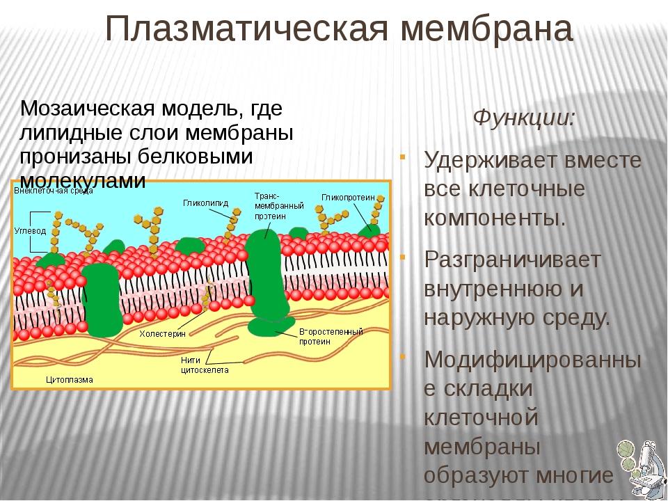 Плазматическая мембрана Функции: Удерживает вместе все клеточные компоненты...