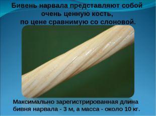 Бивень нарвала представляют собой очень ценную кость, по цене сравнимую со сл