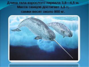 Длина тела взрослого нарвала 3,8—4,5 м. Масса самцов достигает 1,5 т; самки в