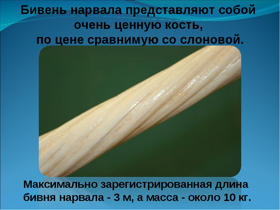 Бивень нарвала представляют собой очень ценную кость, по цене сравнимую со сл...