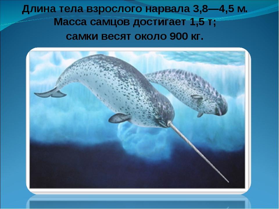 Длина тела взрослого нарвала 3,8—4,5 м. Масса самцов достигает 1,5 т; самки в...