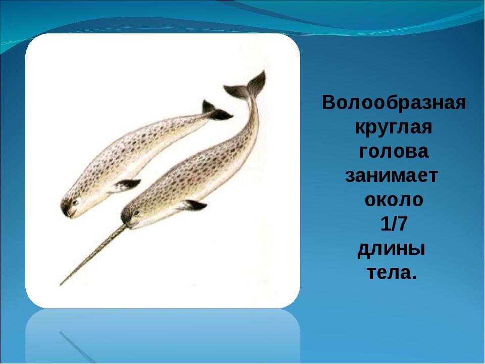Волообразная круглая голова занимает около 1/7 длины тела.