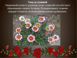 Уход за газанией Умеренный полив и удаление сухих соцветий способствует образ