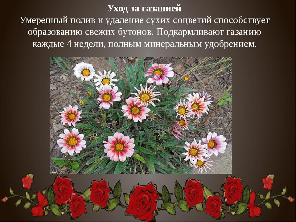 Уход за газанией Умеренный полив и удаление сухих соцветий способствует образ...