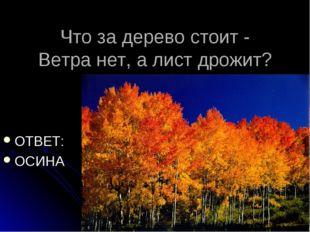 Что за дерево стоит - Ветра нет, а лист дрожит? ОТВЕТ: ОСИНА