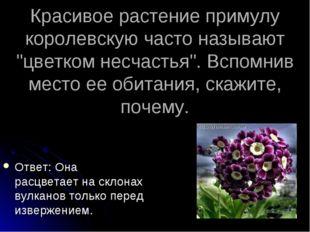 """Красивое растение примулу королевскую часто называют """"цветком несчастья"""". Всп"""