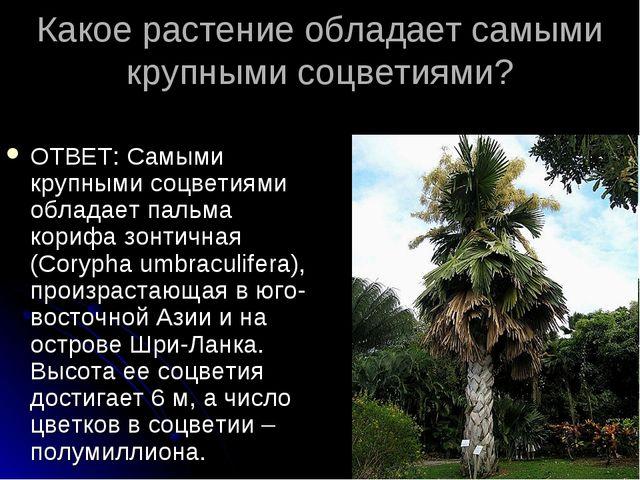 Какое растение обладает самыми крупными соцветиями? ОТВЕТ: Самыми крупными со...