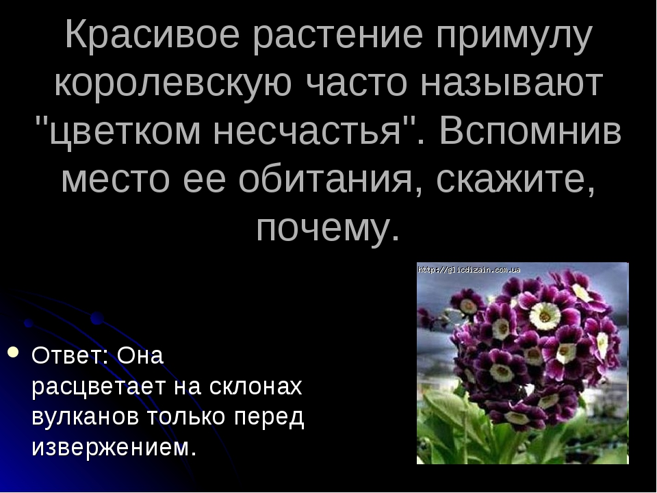 """Красивое растение примулу королевскую часто называют """"цветком несчастья"""". Всп..."""