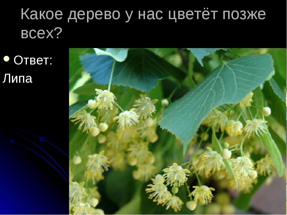 Какое дерево у нас цветёт позже всех? Ответ: Липа