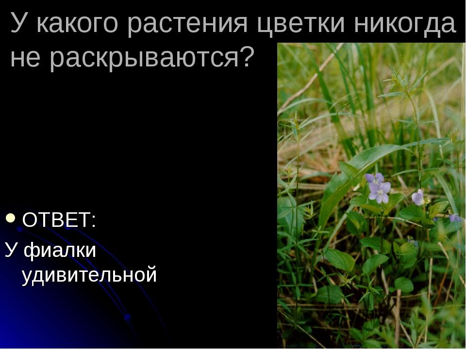 У какого растения цветки никогда не раскрываются? ОТВЕТ: У фиалки удивительной