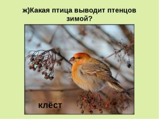 ж)Какая птица выводит птенцов зимой? клёст