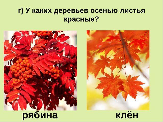 г) У каких деревьев осенью листья красные? рябина клён