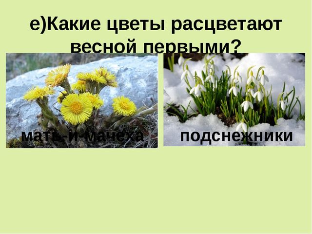 е)Какие цветы расцветают весной первыми? мать-и-мачеха подснежники