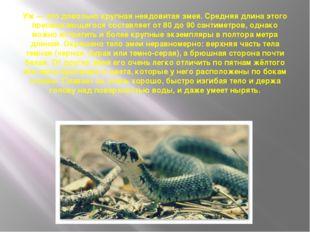 Уж— это довольно крупная неядовитая змея. Средняя длина этого пресмыкающегос