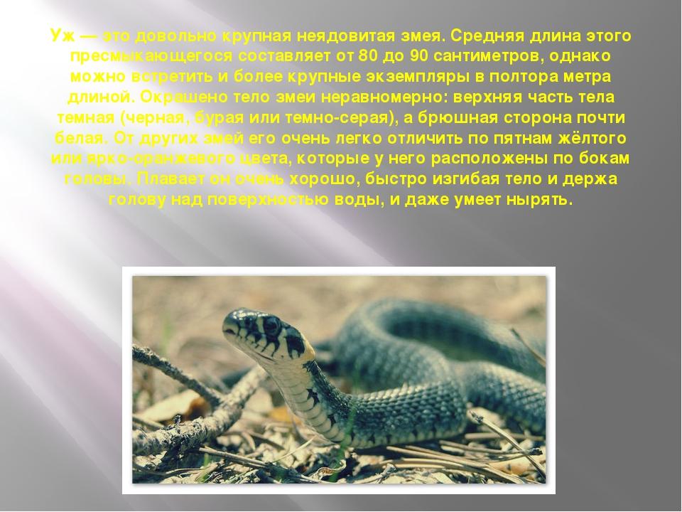 Уж— это довольно крупная неядовитая змея. Средняя длина этого пресмыкающегос...