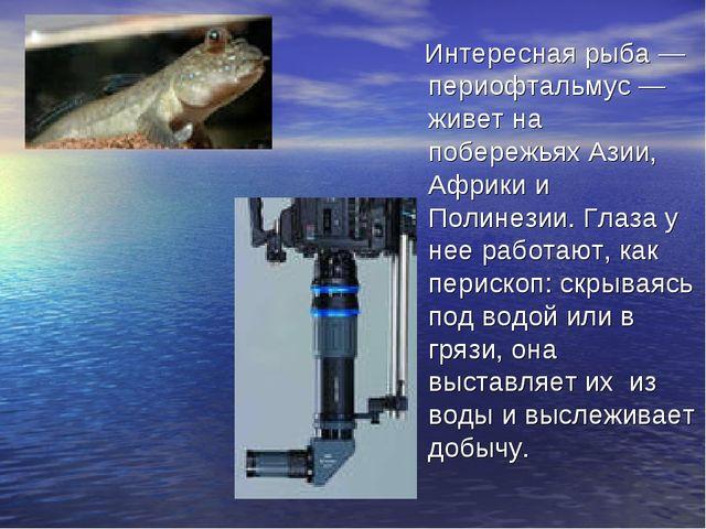 Интересная рыба — периофтальмус — живет на побережьях Азии, Африки и Полинез...
