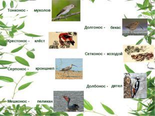 Тонконос - мухолов Крестонос - клёст Долгонос - бекас Серпонос - кроншнеп Сет