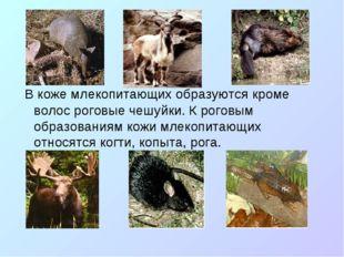 В коже млекопитающих образуются кроме волос роговые чешуйки. К роговым образ
