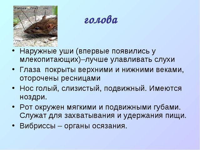 голова Наружные уши (впервые появились у млекопитающих)–лучше улавливать слух...