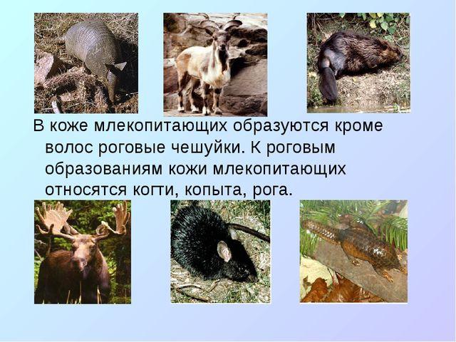 В коже млекопитающих образуются кроме волос роговые чешуйки. К роговым образ...