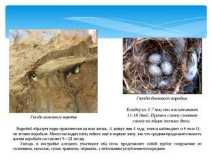 Гнездо каменного воробья Гнездо домового воробья. Кладку из 3-7 яиц они насиж