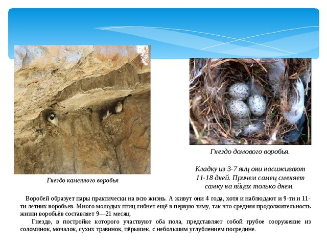 Гнездо каменного воробья Гнездо домового воробья. Кладку из 3-7 яиц они насиж...