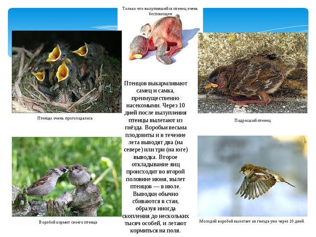 Птенцов выкармливают самец и самка, преимущественно насекомыми. Через 10 дней...