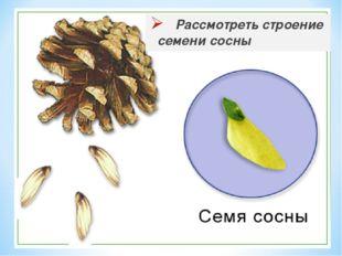 Рассмотреть строение семени сосны
