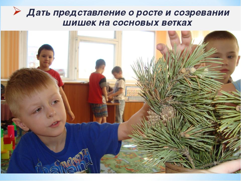Дать представление о росте и созревании шишек на сосновых ветках