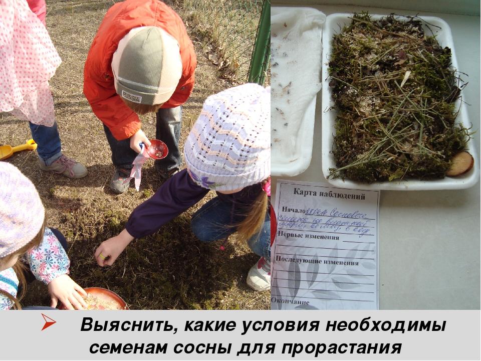 Выяснить, какие условия необходимы семенам сосны для прорастания