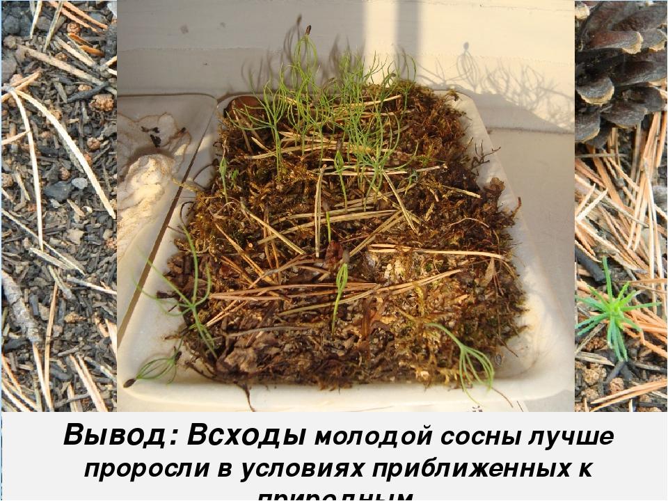 Вывод: Всходы молодой сосны лучше проросли в условиях приближенных к природным