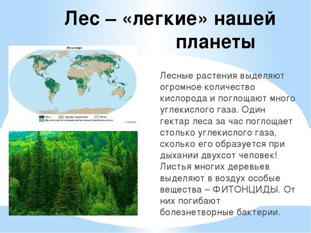 Лес – «легкие» нашей планеты Лесные растения выделяют огромное количество кис...