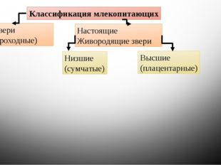 Классификация млекопитающих Первозвери (Однопроходные) Настоящие Живородящие