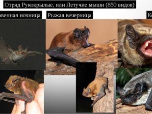 Отряд Рукокрылые, или Летучие мыши (850 видов) Обыкновенная ночница Рыжая веч