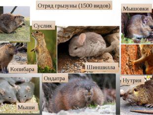 Отряд грызуны (1500 видов) Мышовки Белки Нутрия Ондатра Шиншилла Мыши Суслик